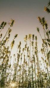 hemp cbd plants