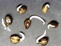 cannabis seedlings germinating