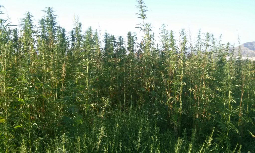 Our Organic Hemp Farms in the South of Spain